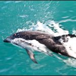 kaikoura dolphin watching nz