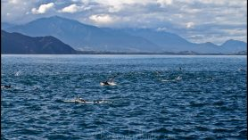kaikoura dolphin watching travel