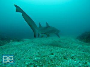 grey nurse shark diving australia