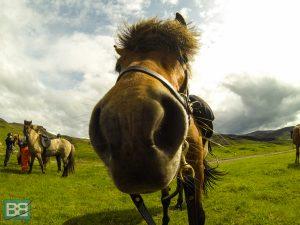 iceland pony trek icelandic horse day trip eldhestar (1 of 5)