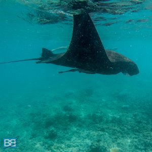 barefoot manta ray snorkel fiji yasawa islands awesome adventures