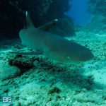 shark encounter white tips kuata island awesome adventures fiji snorkel backpacker