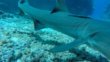shark encounter white tips kuata island awesome adventures fiji snorkel backpacker