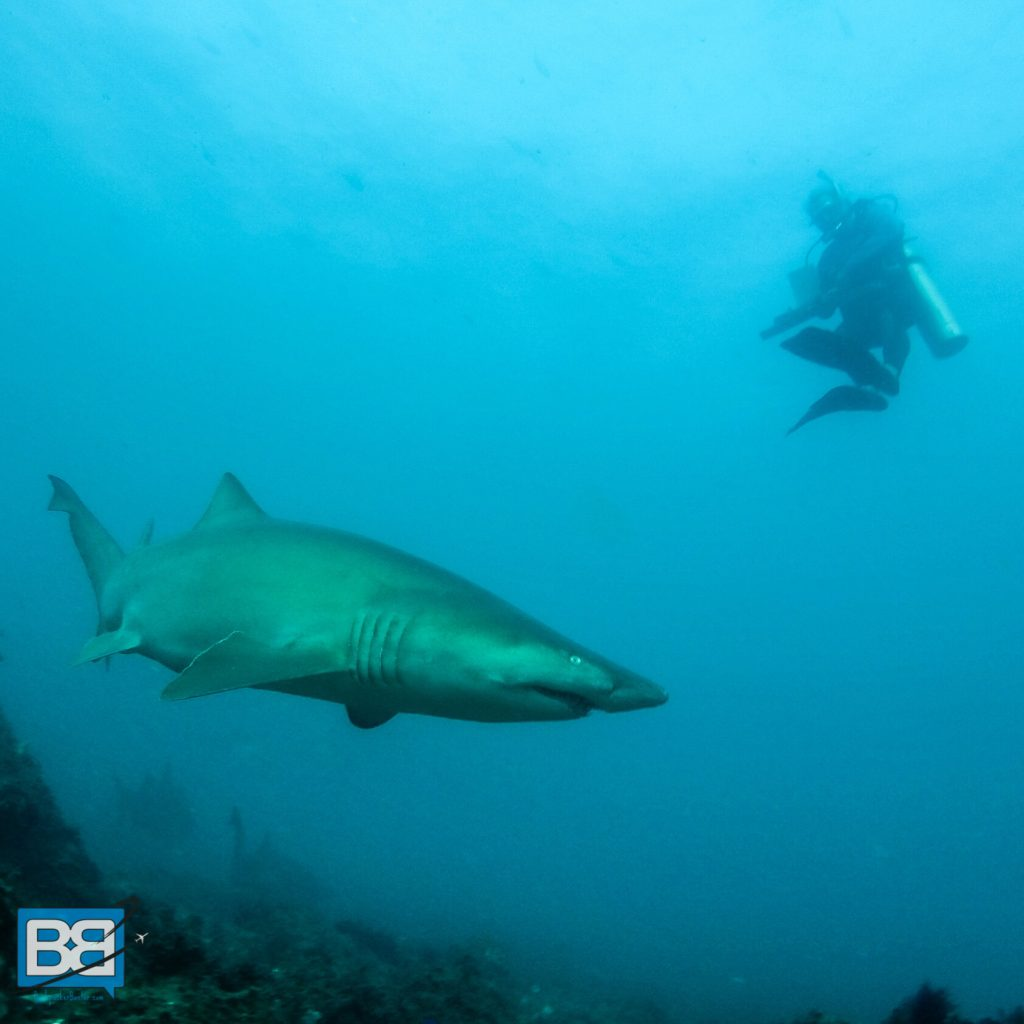 grey nurse shark julian rocks byron bay australia
