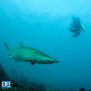 grey nurse shark julian rocks byron bay australia