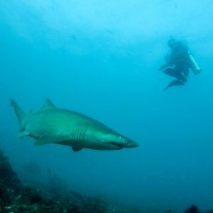 scuba diving with sharks padi dive