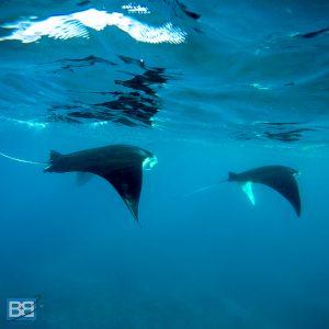 mojo surf bali manta ray swim nusa lembongan