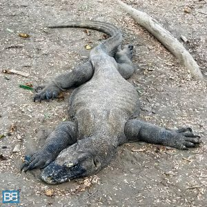 planning a trip to komodo national park how to guide indonesia labuan bajo dragons-10