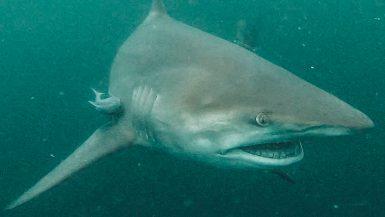 shark dive south africa cage aliwal shoal scuba diving